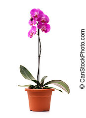 Pink orchid (Phalaenopsis) in a flowerpot, isolated, white ...