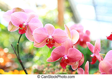 pink orchid (phalaenopsis) inside a greenhouse with bokeh
