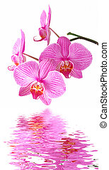 Pink orchid reflection - Beautiful orchid (Phalaenopsis) on...