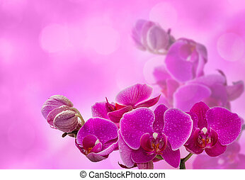 Pink orchid with dew