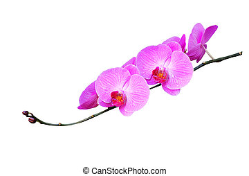 Pink orchids isolated on white background
