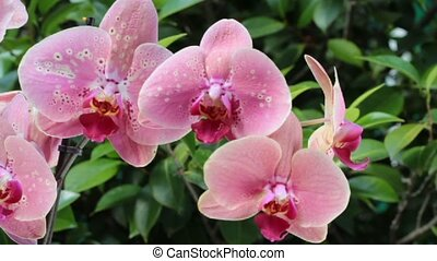 pink Orchids over green foliage background