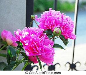 Pink paeons