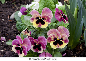 Pink pansy design elements isolated pink pansy viola x pink pansy flowers blossom mightylinksfo