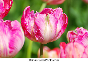 pink parrot tulips with variety Diana Ross - beautiful pink...