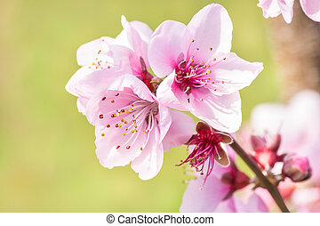 pink peach flowers in bloom with blurred green background