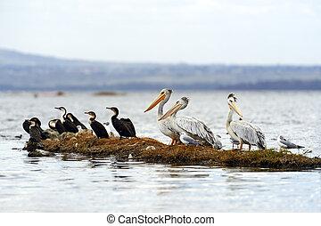 Pelican - Pink Pelican at Lake Nakuru . Africa, Kenya