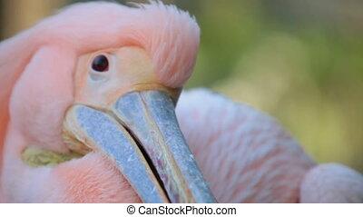 Pink Pelican close-up