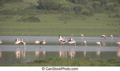 Pink pelicans landing over lake, super slow motion
