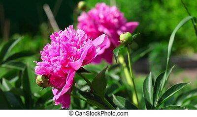 Pink peonies - Beautiful pink peonies on green background