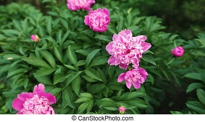 Pink peonies blossom on the flower garden of the botanical garden.