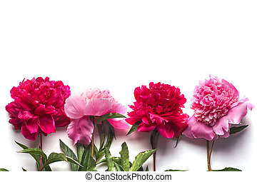 Pink peonies flowers isolated on white background