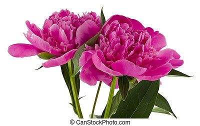 Pink peonies flowers isolated on white background.