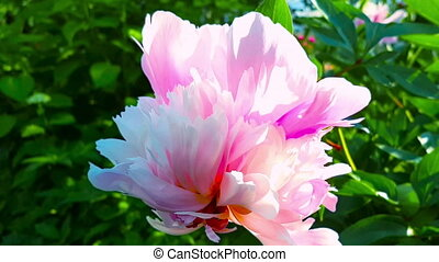 Pink peonies in the garden.Slow motion, movement around the axis of the flower,