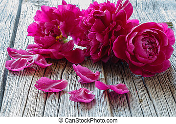 Pink peonies isolated on grey background, copy space