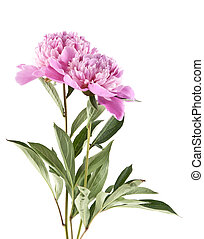 pink peonies isolated on white background