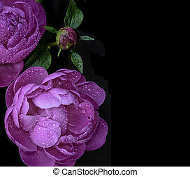Pink peonies on a black background