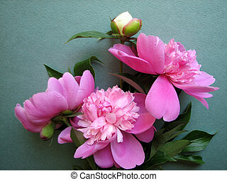 pink peony blooms on green background