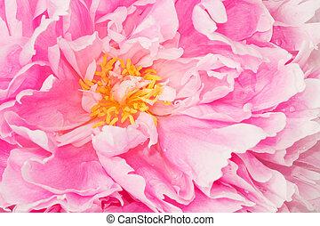 Pink peony closeup - Closeup of the blossom of a pink peony