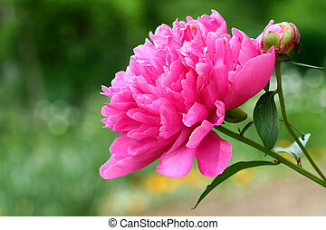 A bright pink peony flower