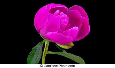 Pink Peony Flower Blooming. Black Background. Timelapse.