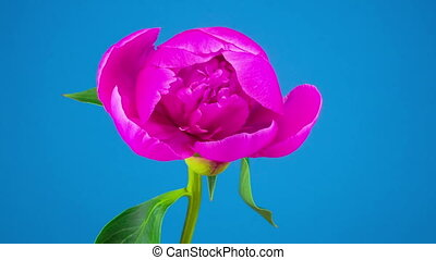 Pink Peony Flower Blooming. Blue Background. Timelapse.