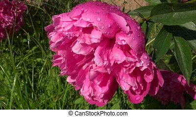 Pink peony flower blossom in the morning sun with water...