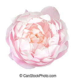 Pink peony flower head isolate on white