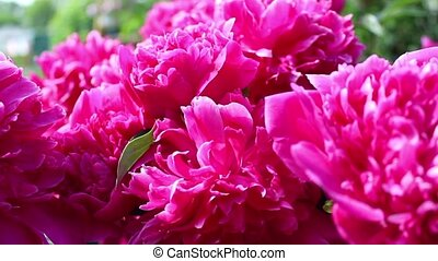 Pink Peony Flower In Spring