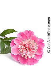 pink peony flower isolated