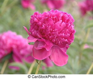 Pink peony flower moving in wind