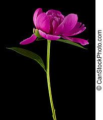 Pink peony flower on a black background.