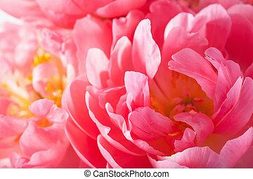 pink peony flower petals macro background