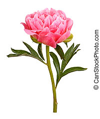 One double flower with water droplets, stem and leaves of a a pink peony (Paeonia lactiflora) against a white background