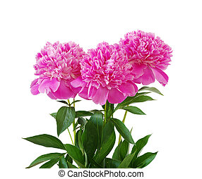 pink peony flower isolated on white