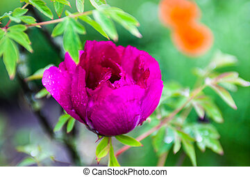 Pink peony flower with drops of dew