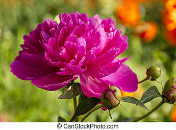 Pink Peony Flowers in Garden - Open bright pink peony bloom...