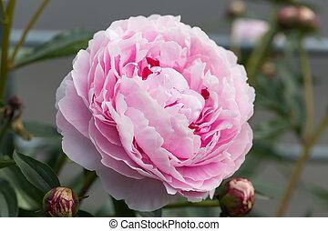 Pink peony in the garden in bloom.