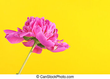 pink peony on a yellow background
