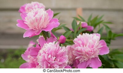 Pink peony outdoors on a summer day. Shot from hands, slow...