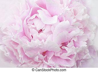 pink peony petals close-up - pastele pink peony petals macro