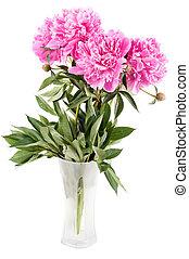 Pink peony - Beautiful pink peony isolated on white, studio...