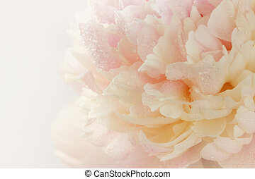 pink peony in drops of dew, close-up