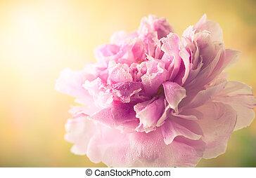 Pink peony - Beautiful pink peony, soft focus, toned image...