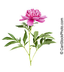 pink peony flower on a white background