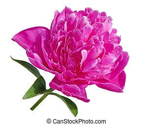 Pink Peony - Single peony flower isolated on white...