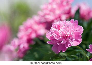 pink peony - Close-up of pink peony