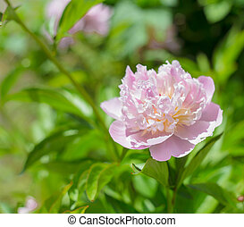 Pink peony. - Pink peony over green de-focused background.