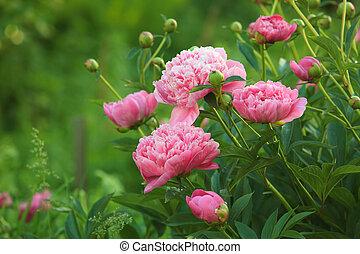 Pink Peony - European peony, or Common peony (Paeonia...