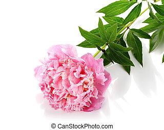 Pink peony - Peony flower. Pink peony. Pink flower of a...